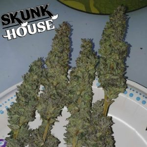 Skunk House Genetics - Mac Burger OG